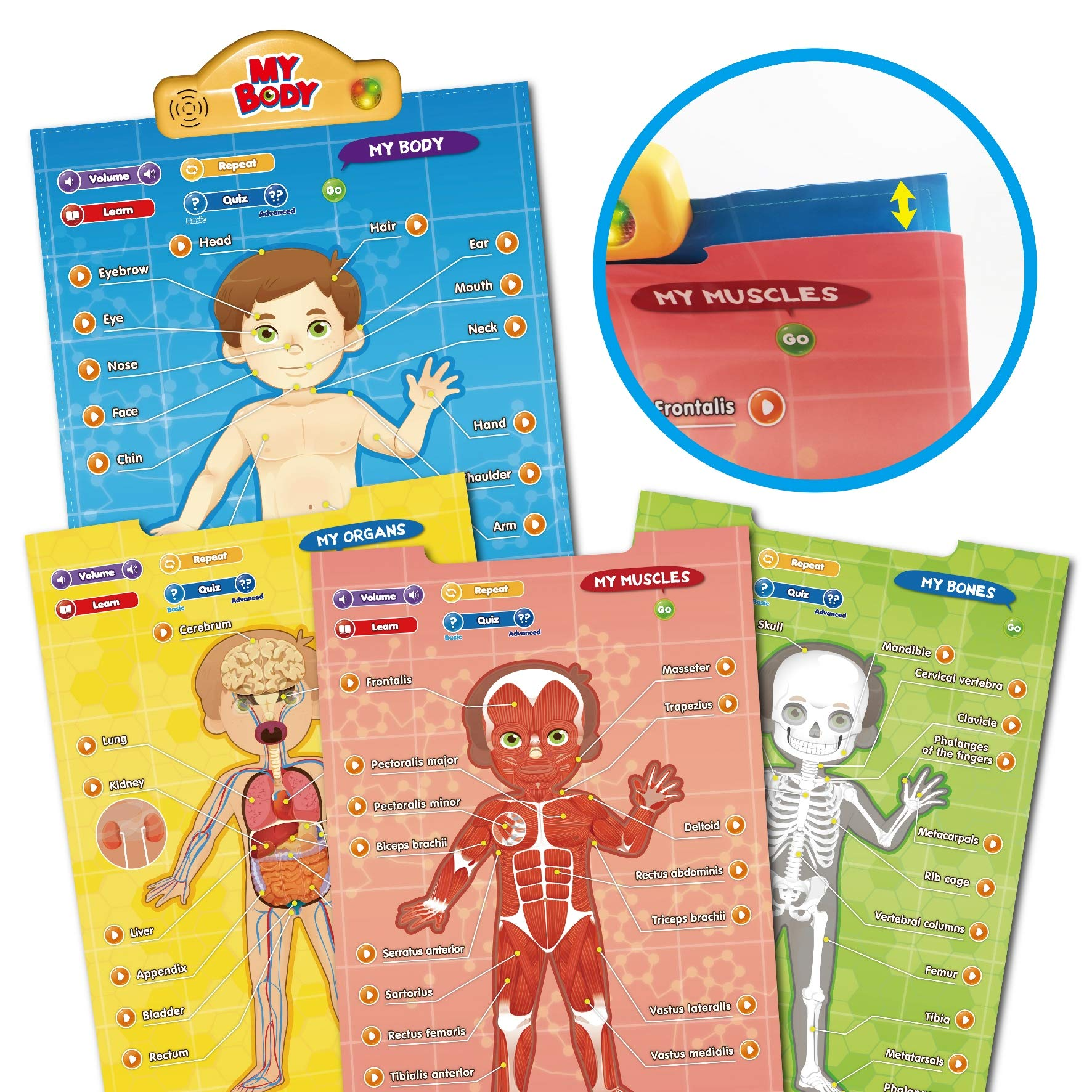 BEST LEARNING i-Poster My Body - Interactive Educational Human Anatomy Talking Game Toy System to Learn Body Parts, Organs, Muscles and Bones for Kids Aged 5 to 12 by BEST LEARNING (Image #9)