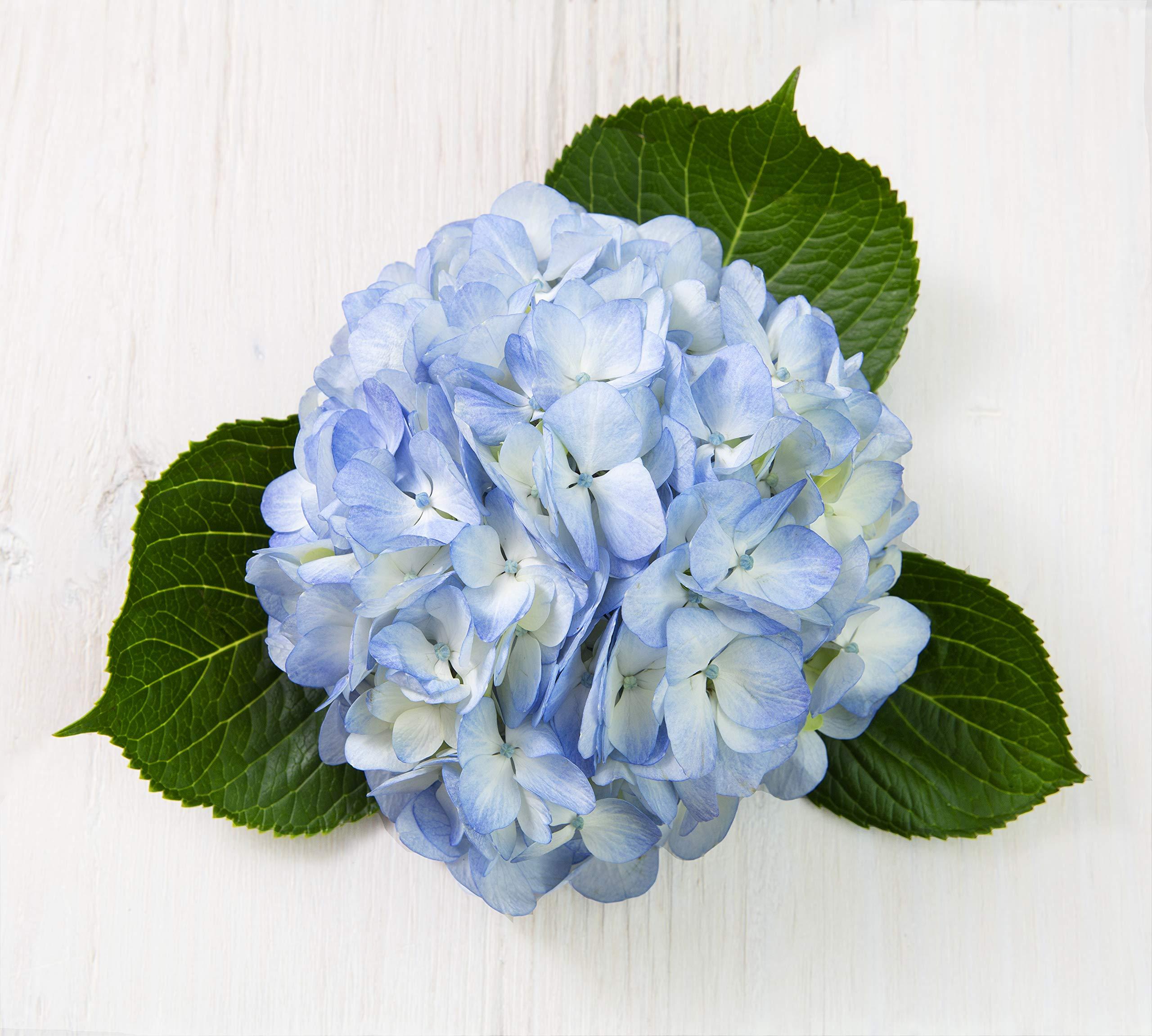 Blooms2Door 30 Blue Hydrangeas (Farm-Fresh, Naturally Colored, Premium Quality) by Blooms2Door (Image #6)