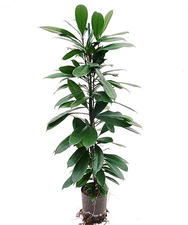 Zimmerpflanzen Schatten ficus benjamini 80 100 cm in hydrokultur 15 19er kulturtopf