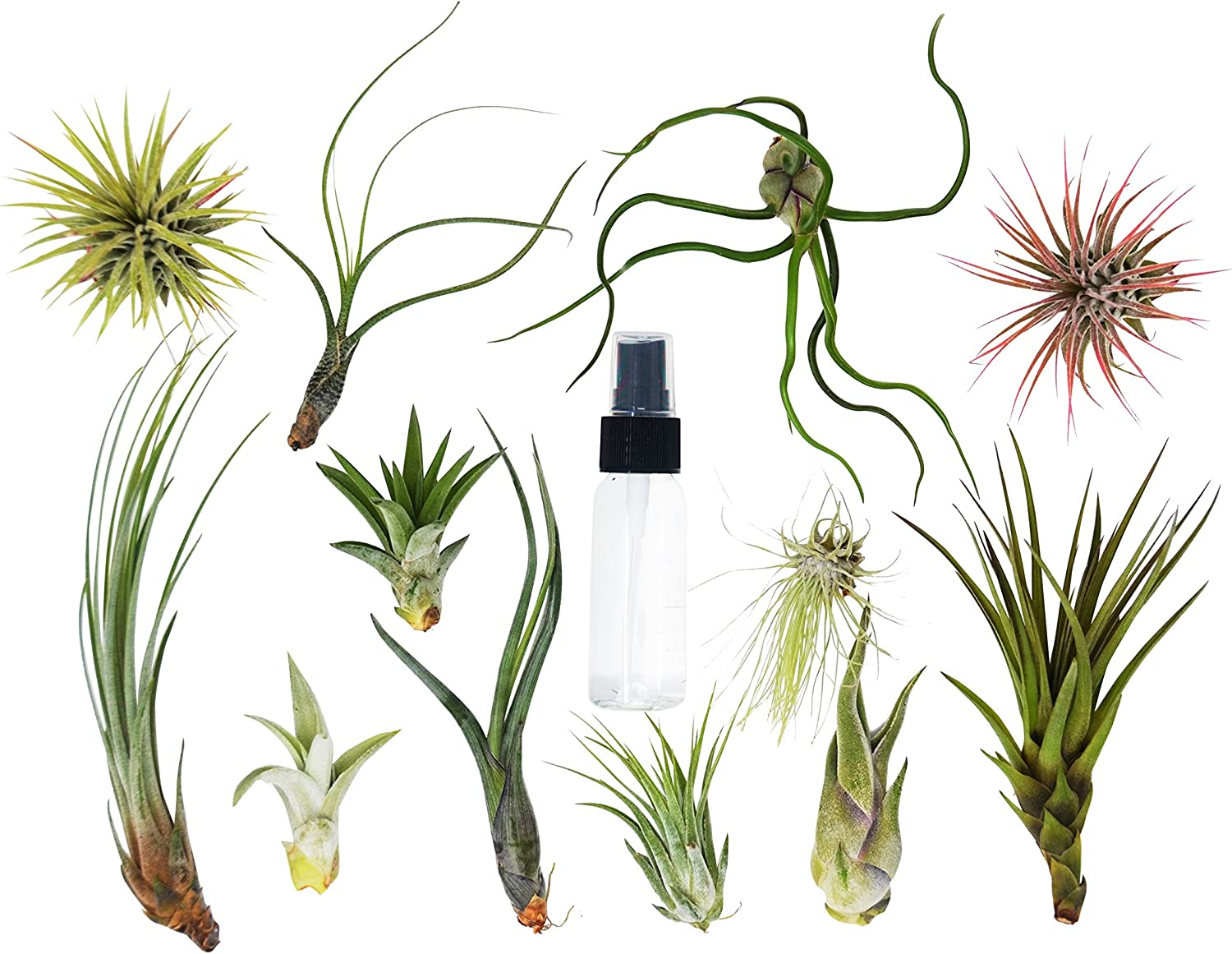 Amazon Com 12 Air Plant Bulk Variety Pack With Spray Bottle 12