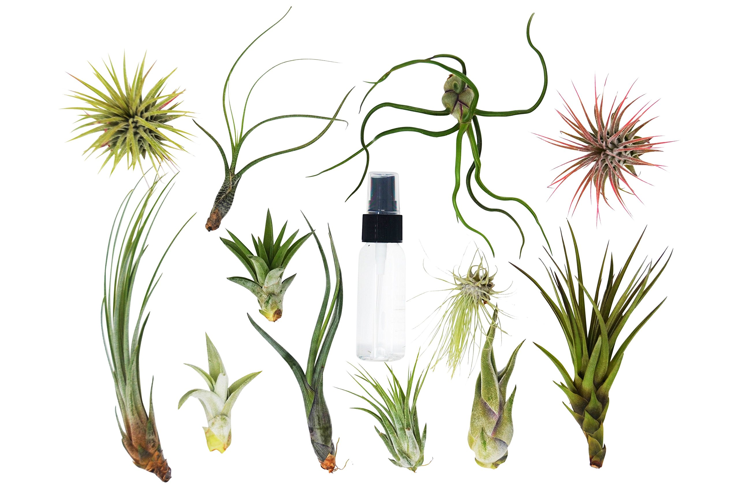 25 Bulk Air Plant Assortment w/Spray Bottle / 12 Different Plant Varieties/Up to 7'' Large/Wholesale