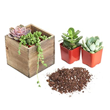 Shop Succulents | Assorted Succulent DIY Kit with 4  Rustic Wooden Planter Desktop