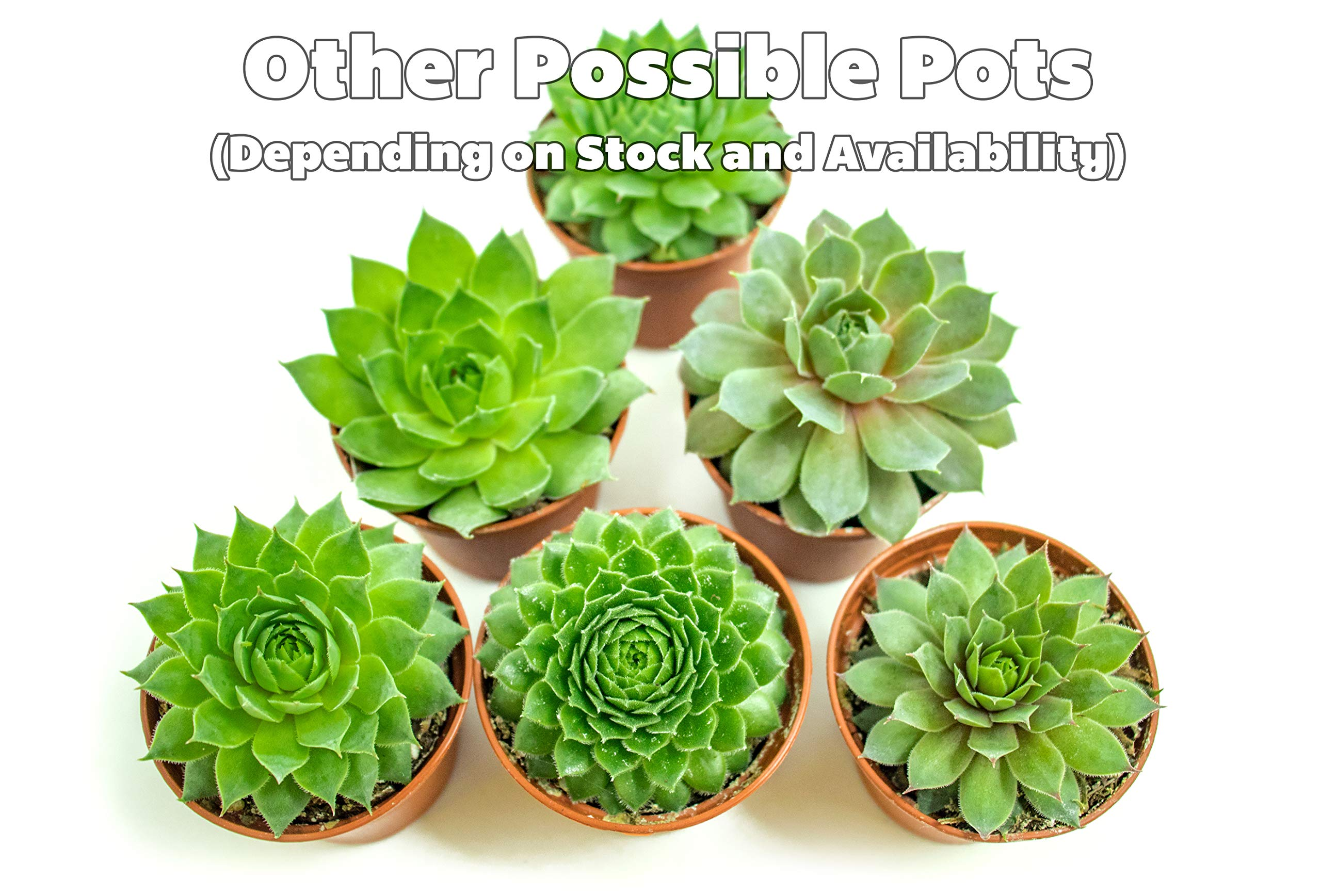 Fractal Succulents(5 Pack) Live Sempervivum Houseleek SucculentRooted in Pots | Flowering Plant Leaves /Geometric Rosettes by Plants for Pets by Plants for Pets (Image #3)