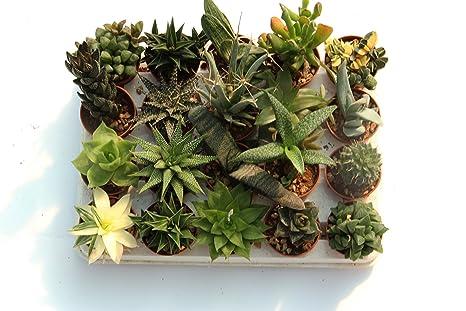 piante grasse rare vendita online
