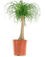 BOTANICLY | Plantes vertes d intérieur – Noline recourbée | Hauteur: 80 cm | Beaucarnea recurvata