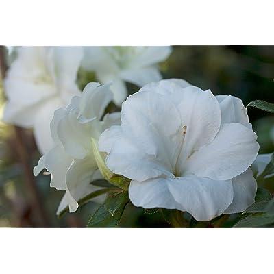 Encore Azalea Autumn Moonlight Azalea 2 Gal, White Blooms : Garden & Outdoor