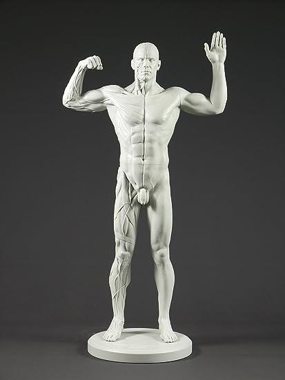 Amazon.com: Male Adaptable Anatomy Figure: 13.4-inch Anatomical ...