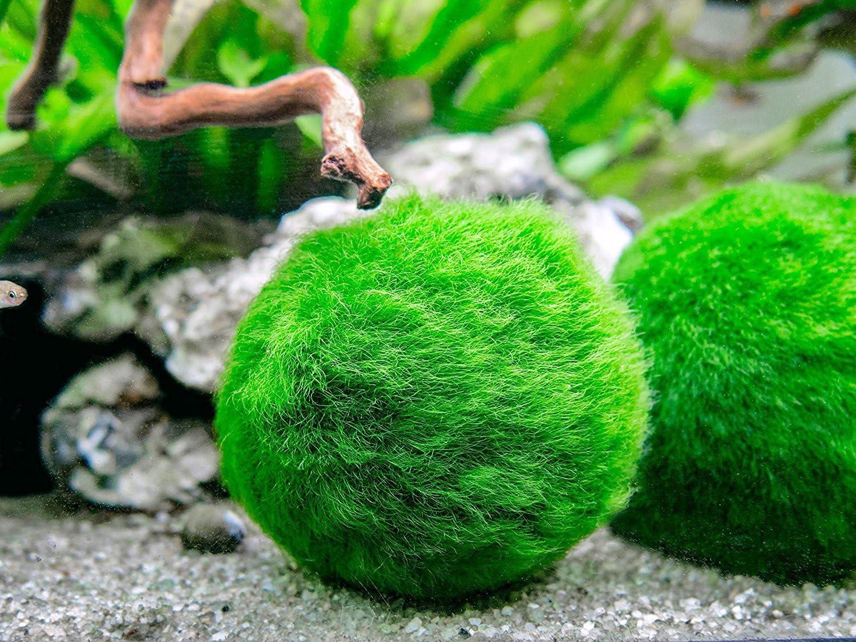 Amazon Com Aquatic Arts Marimo Moss Ball Food Freshwater Plant Fertilizer Aquarium Terrarium Kit Accessories For Live Plants Liquid Doser For Jar Bowl 8 Oz Pet Supplies