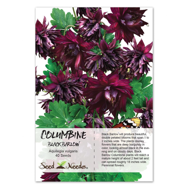 Amazon Package Of 40 Seeds Black Barlow Columbine Aquilegia