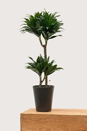 Evrgreen Drachenbaum J Craig Compacta 80 Cm Inkl Topf In Anthrazit