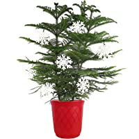 Costa Farms Live Charlie Brown Christmas Tree, Ships Fresh from Our Farm, Great as Holiday Gift or Christmas Decoration