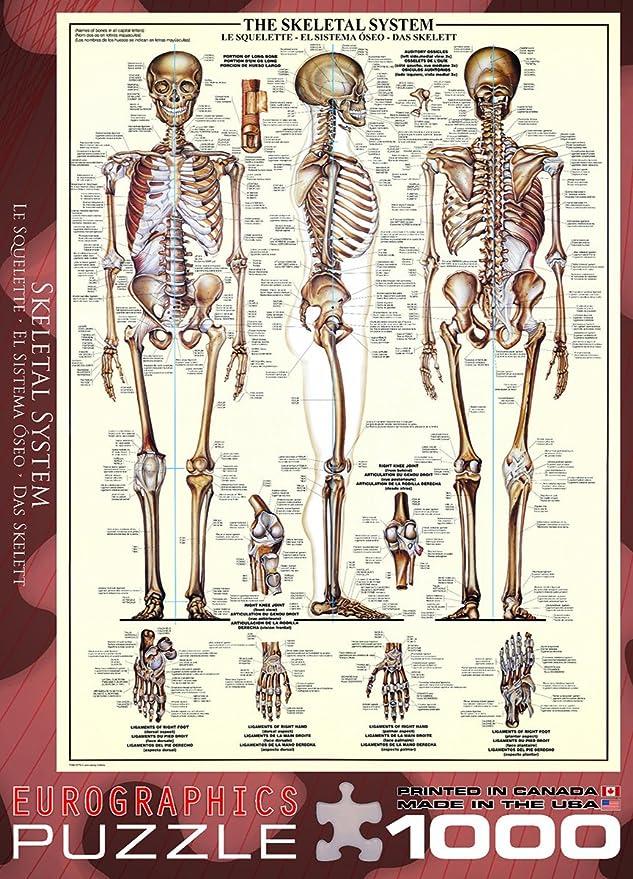 Nett Skelett System Informationen Zeitgenössisch - Anatomie und ...