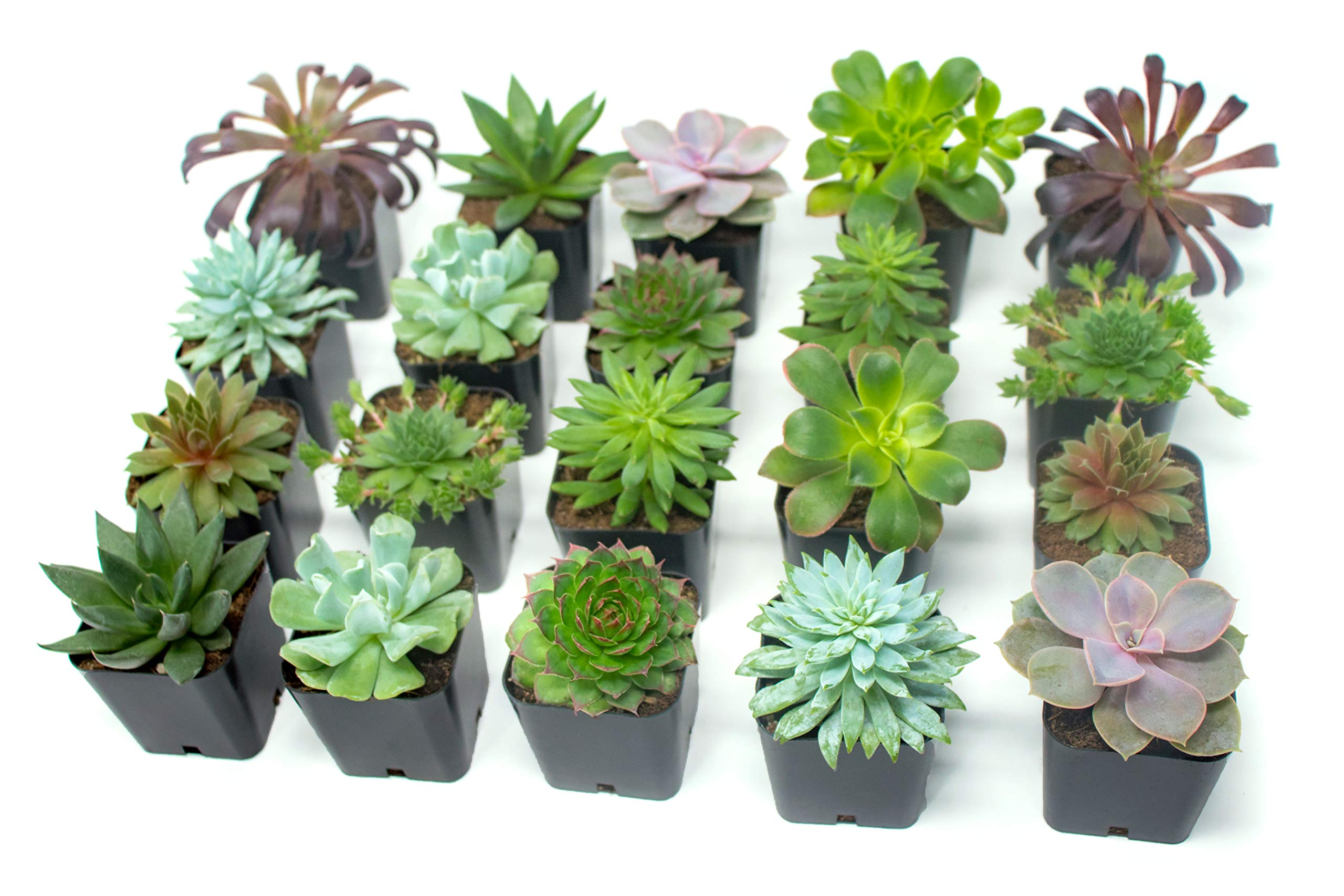 Succulent Plants (20 Pack) Fully Rooted in Planter Pots with Soil | Real Live Potted Succulents / Unique Indoor Cactus Decor by Plants for Pets 11 HAND SELECTED: Every pack of succulents we send is hand-picked. You will receive a unique collection of species that are fully rooted and similar to the product photos. Note that we rotate our nursery stock often, so the exact species we send changes every week. THE EASIEST HOUSE PLANTS: More appealing than artificial plastic or fake faux plants, and care is a cinch. If you think you can't keep houseplants alive, you're wrong; our succulents don't require fertilizer and can be planted in a decorative pot of your choice within seconds. DIY HOME DECOR: The possibilities are only limited by your imagination; display them in a plant holder, a wall mount, a geometric glass vase, or even in a live wreath. Because of their amazingly low care requirements, they can even make the perfect desk centerpiece for your office.