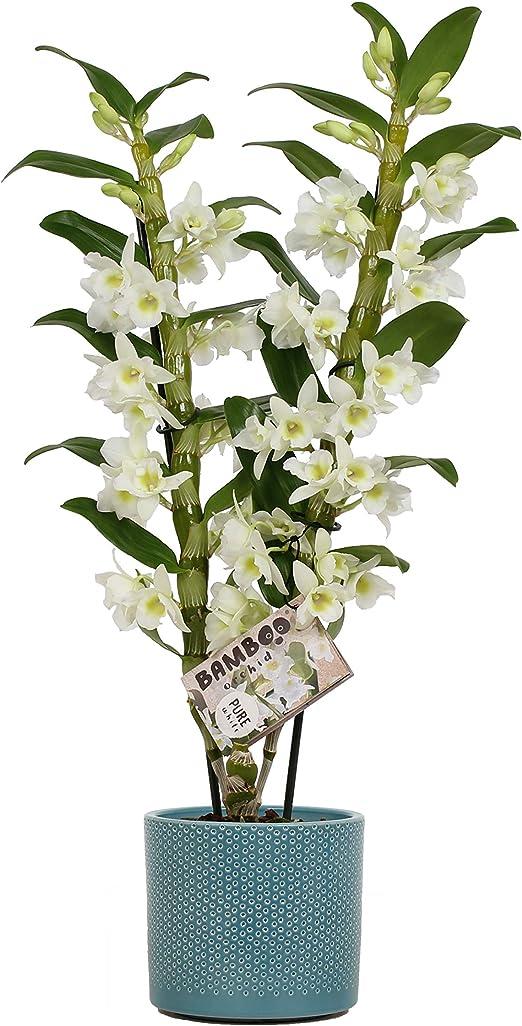 Fiori Bianchi Da Vaso.Orchidea Da Botanicly Bambu Orchidea In Misaki Vaso Di Ceramica