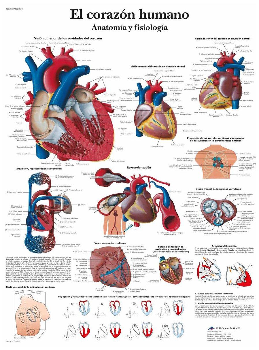 3B Scientific VR3334UU Impreso En Papel, el Corazón Humano, Anatomía ...