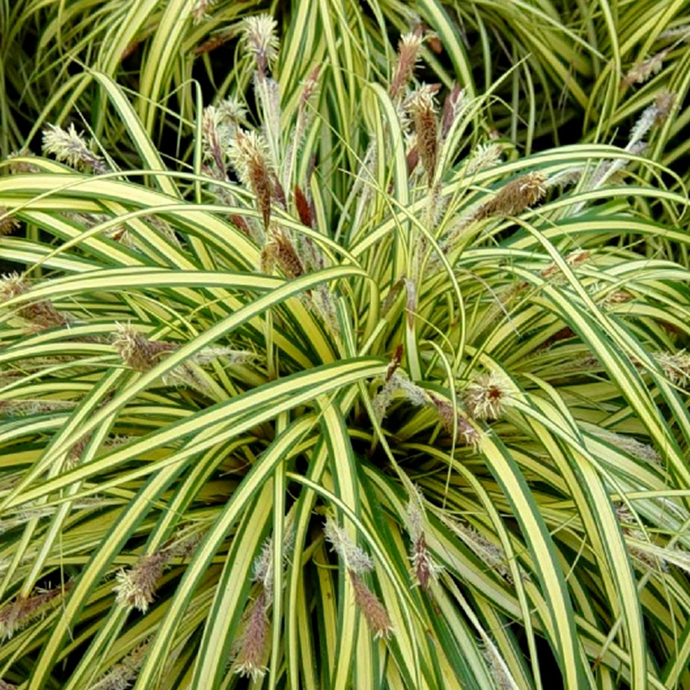 1 X CAREX OSHIMENSIS 'EVERGOLD' SEDGE EVERGREEN SHRUB HARDY GARDEN PLANT IN POT Gardener's Dream