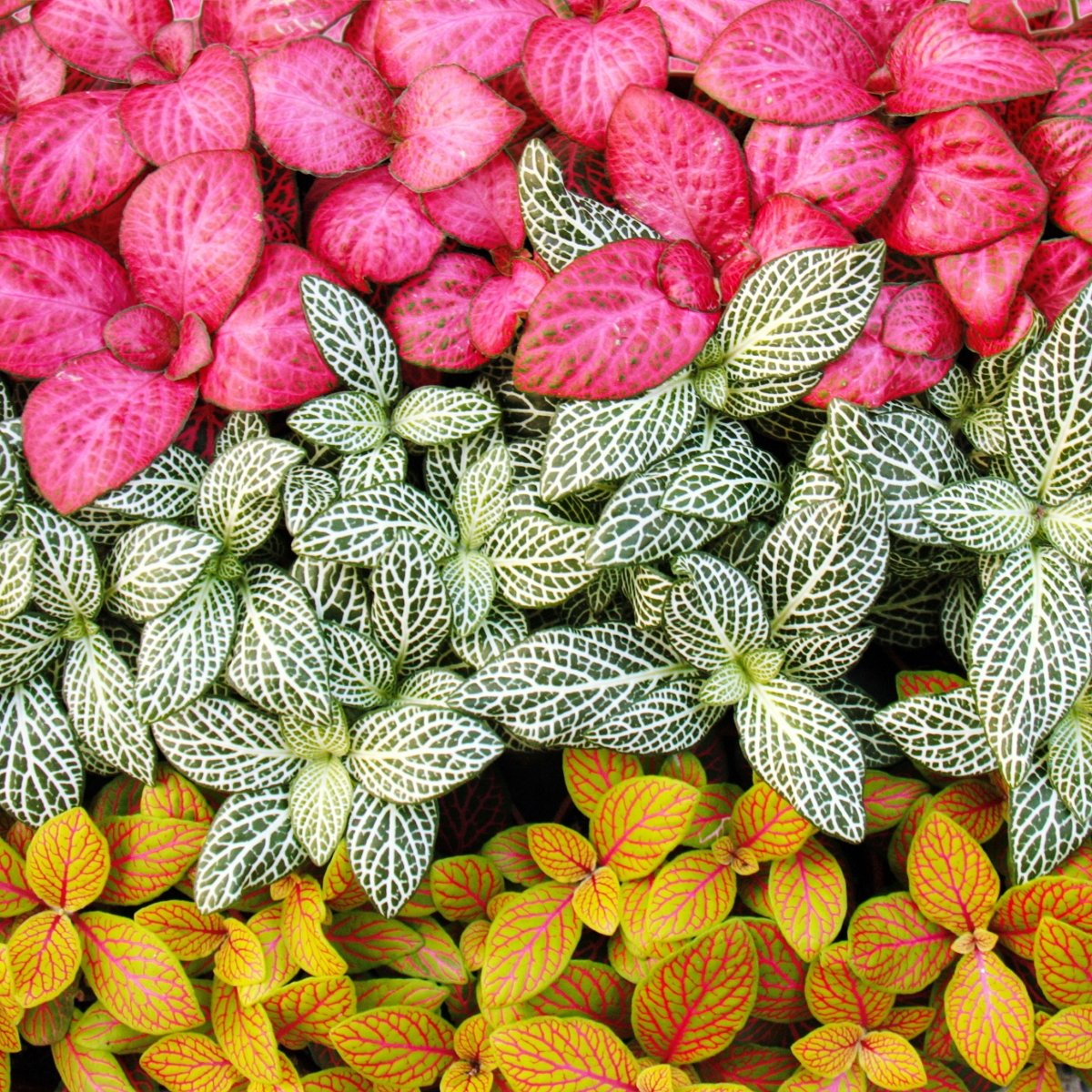 Set with 3 different colored Fittonia -Plant 9cm pot silvern net leaf mosaic plant