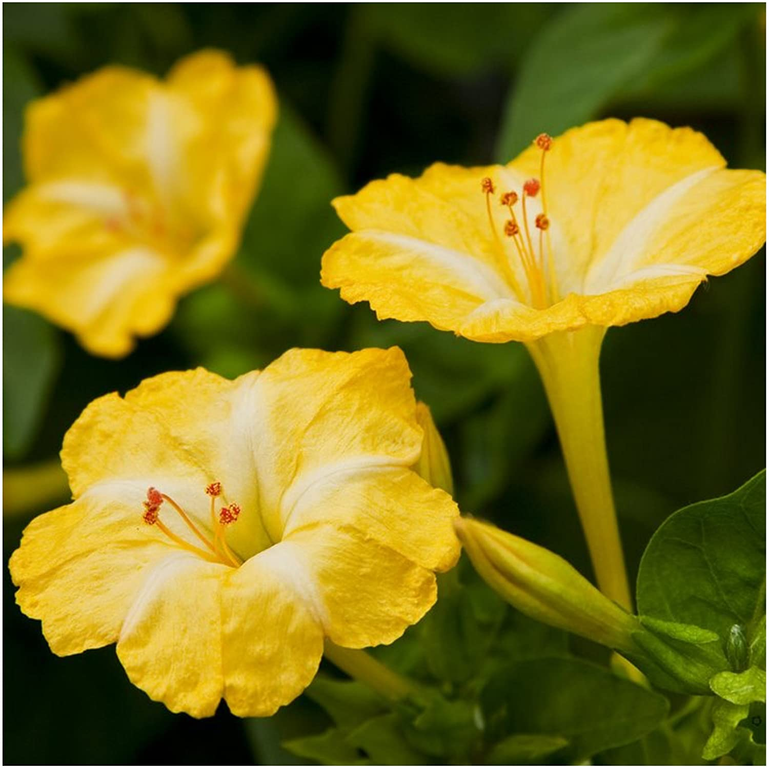Amazon Package Of 60 Seeds Yellow Four O Clock Mirabilis