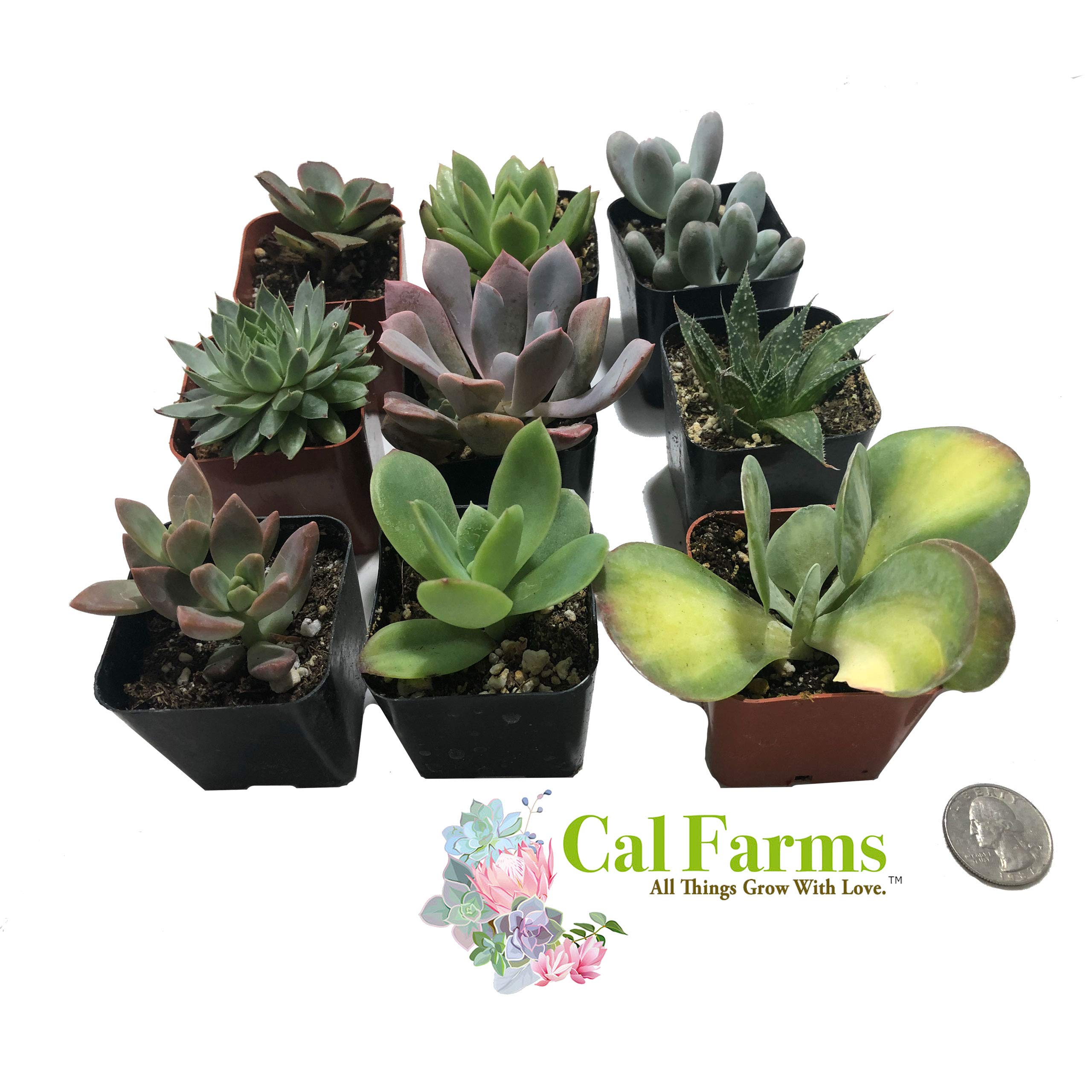 CAL Farms 2'' Beautiful Assorted Variety Succulents for Weddings or Party Favors or Succulent Gardens (Pack of 9) No Two Alike