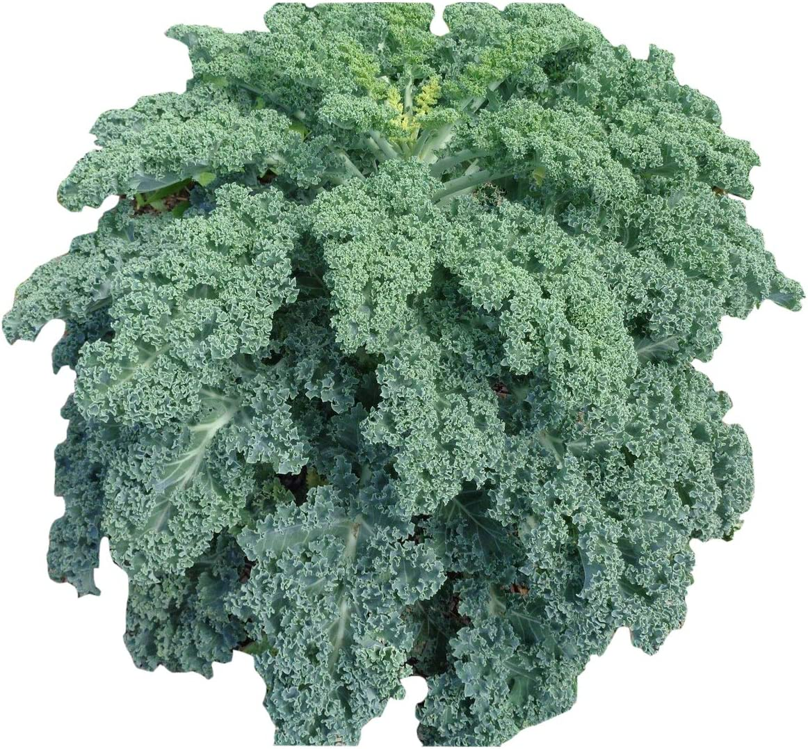 100PCS Dwarf Blue Curled Kale Seed Garden Organic Vegetable Seeds