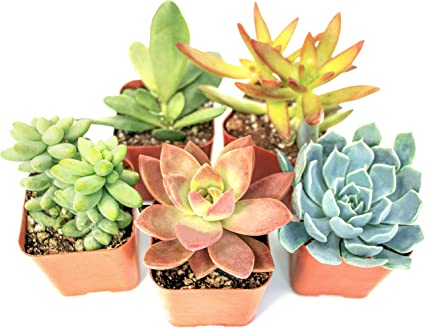 Real Live Potted Succulents,Hand Selected Randomly Variety Pack of Mini Succulents Succulent Plants 5-Pack Fully Rooted in Planter Pots with Soil