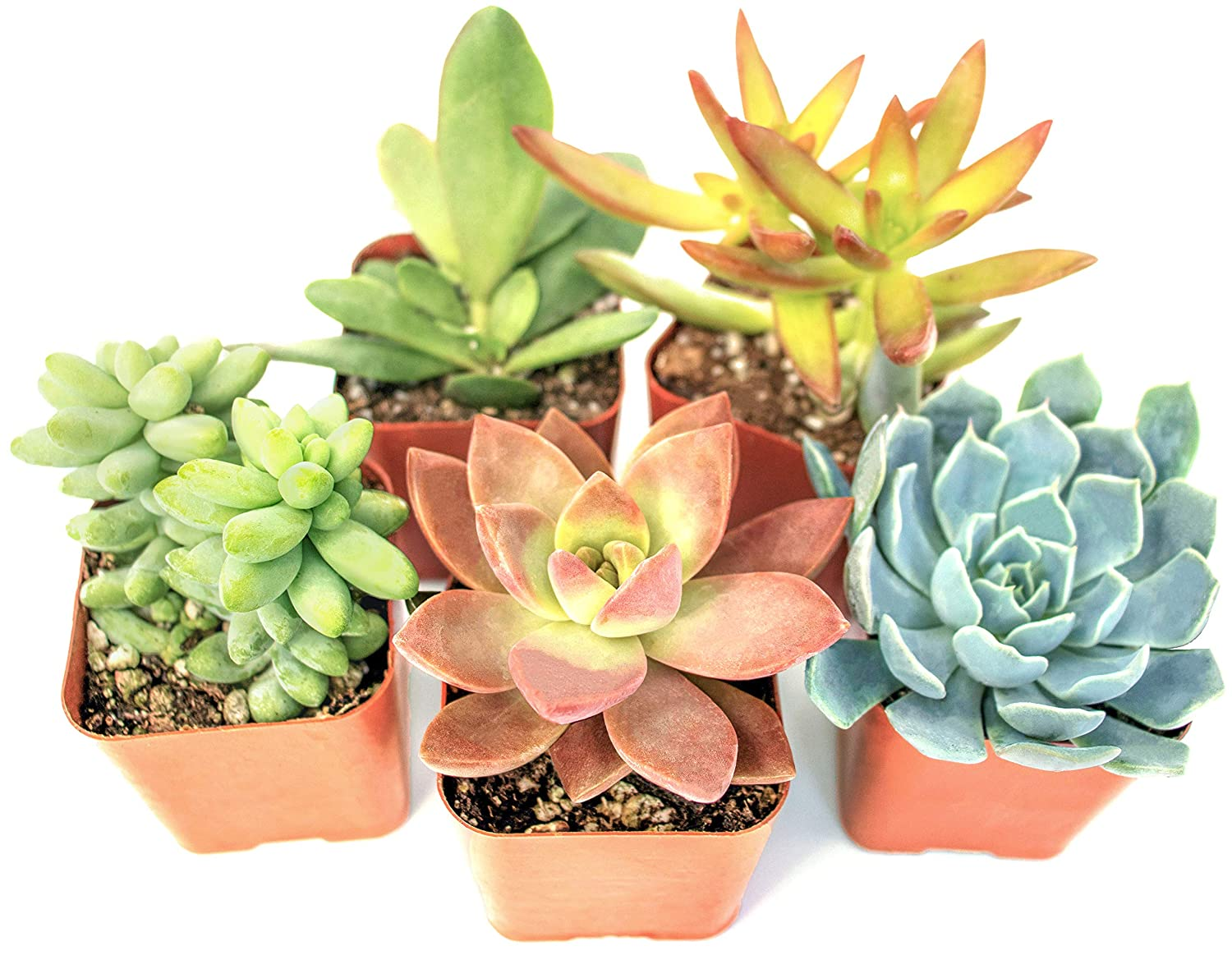 how often to water succulent