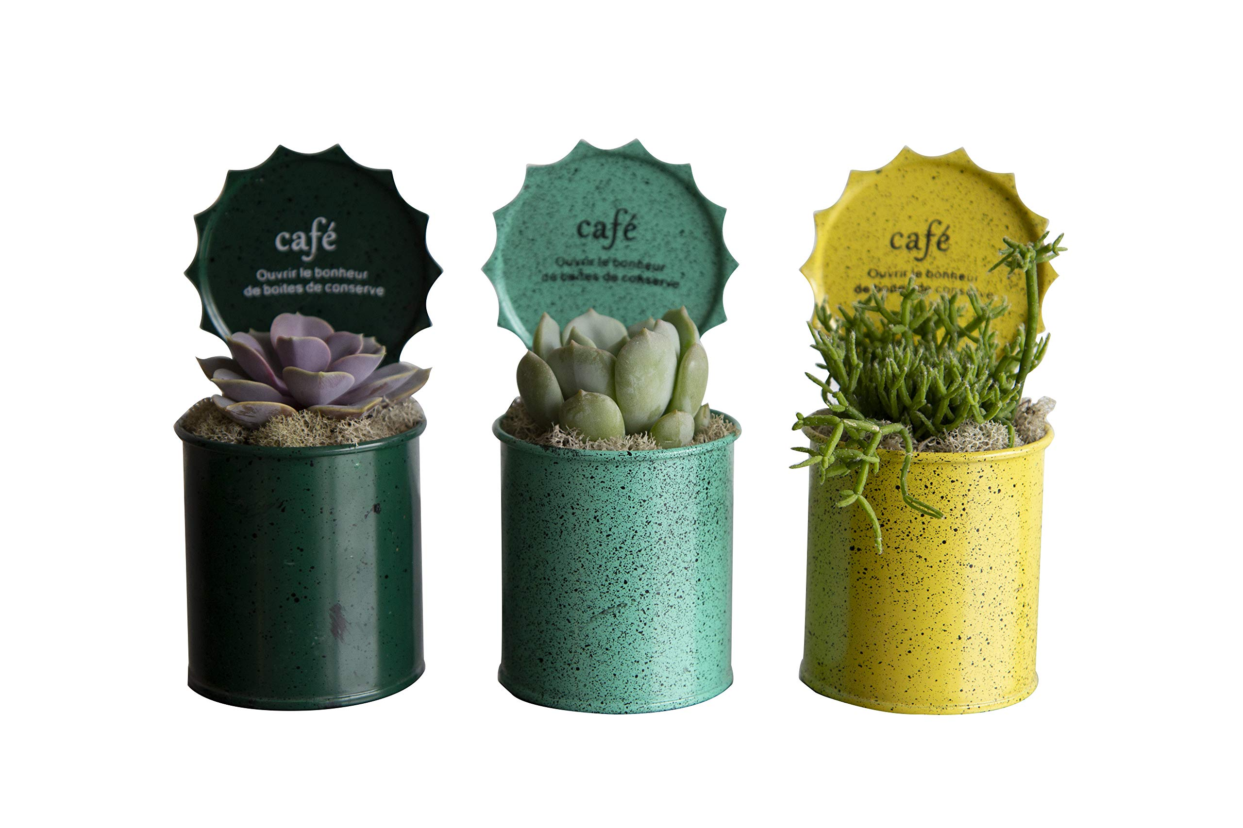 Hallmark Flowers Succulents In 3-Inch Pop Top Tin Containers, 3 Count