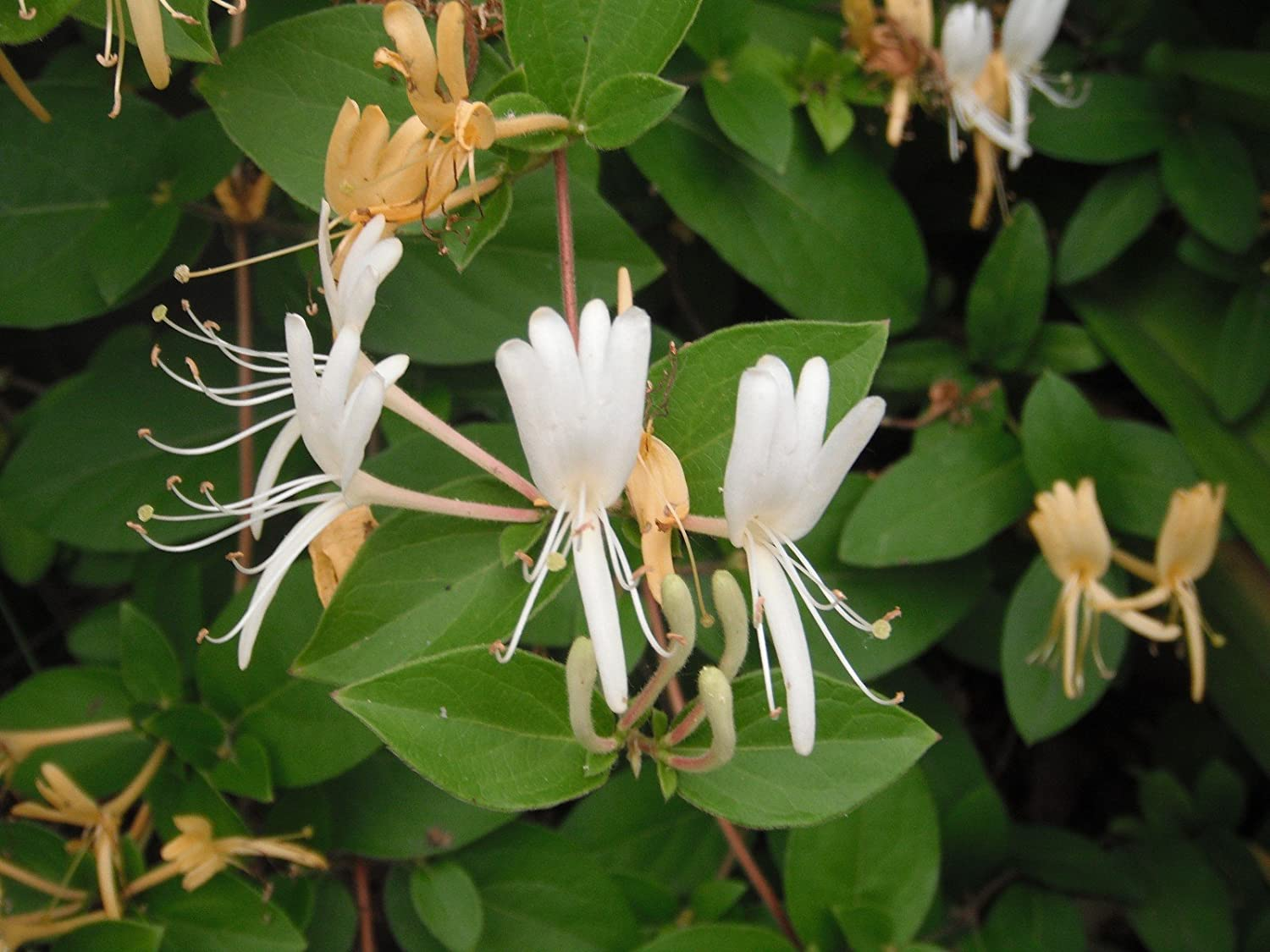 Amazon.com : Hardy Favorite Hall's Honeysuckle Lonceria japonica ...