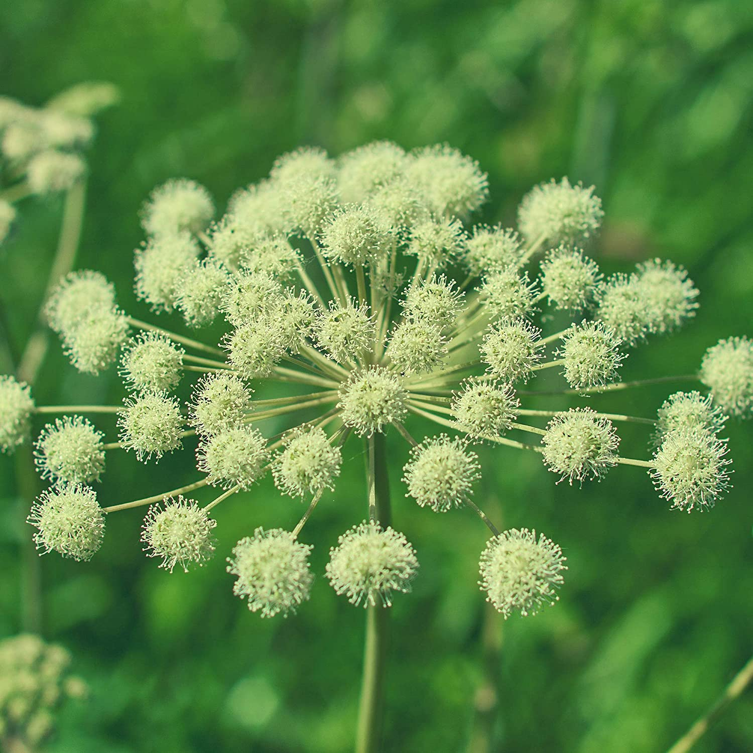 Angelica Seeds - 1 Oz ~8,600 Seeds - Angelica Archangelica - Non-GMO Medicinal & Culinary Herb Garden Seeds - Heirloom Angelica Herb Seeds for Non-GMO Medicinal Tea & Annual Culinary Herb Gardens