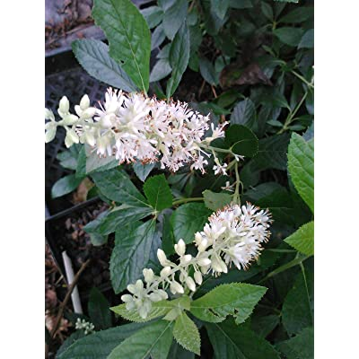 (1 Gallon) '16 Candles' Clethra-Candle Like, Fragrant, Great for Wet and Shady Places, : Garden & Outdoor