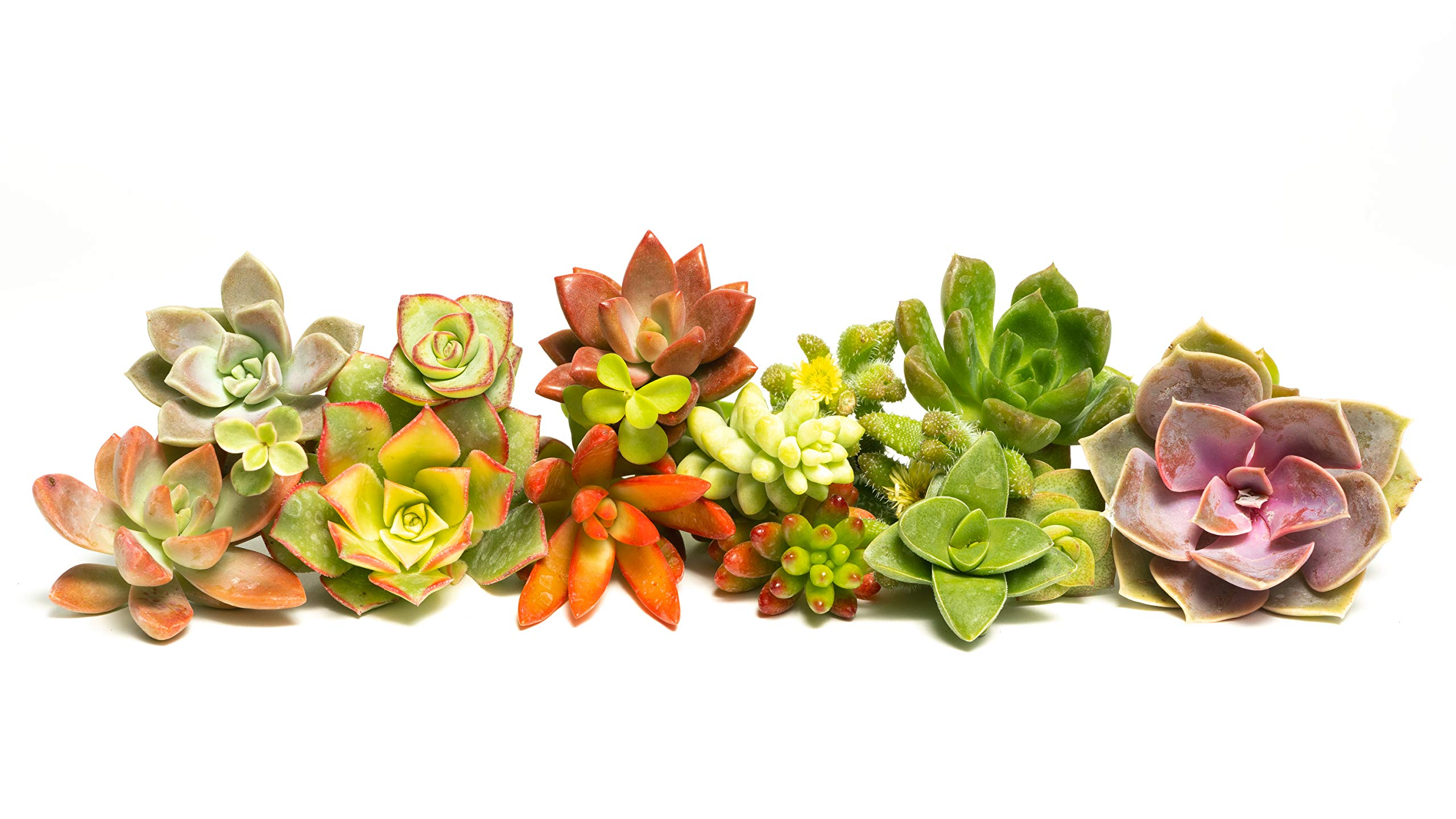 Succulent Cutting Assorted Pack (30 Count): Brighten Up Your Garden with A Variety of Colorful Succulent Plants, No Two Cuttings are Alike by Jiimz (30)