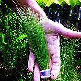 Mainam Giant Hairgrass   Eleocharis Vivipara Bundle Live Aquarium Plant for Freshwater Fish Tank Decoration 3 Days Live…