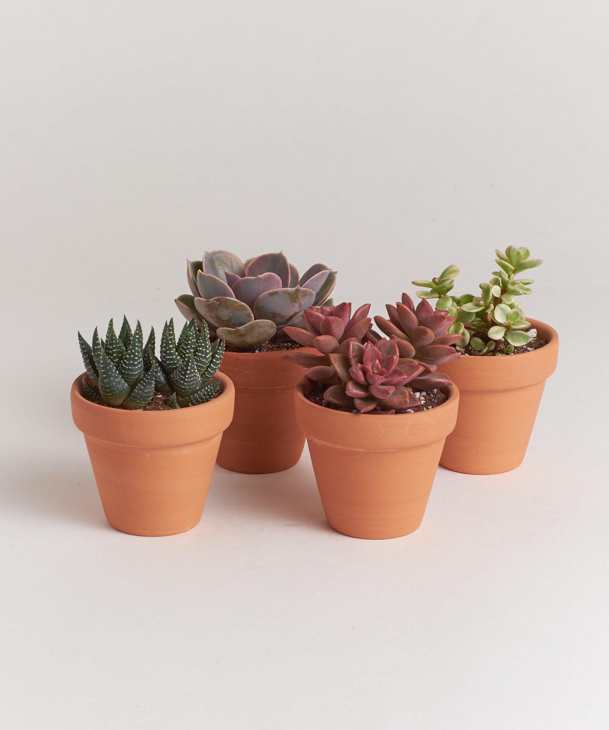 Shop Succulents 2.5'' Terracotta Succulent Four Pack