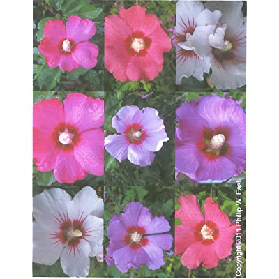 HIBISCUS SYRIACUS - ROSE OF SHARON BULK 100 seeds : Flowering Plants : Garden & Outdoor