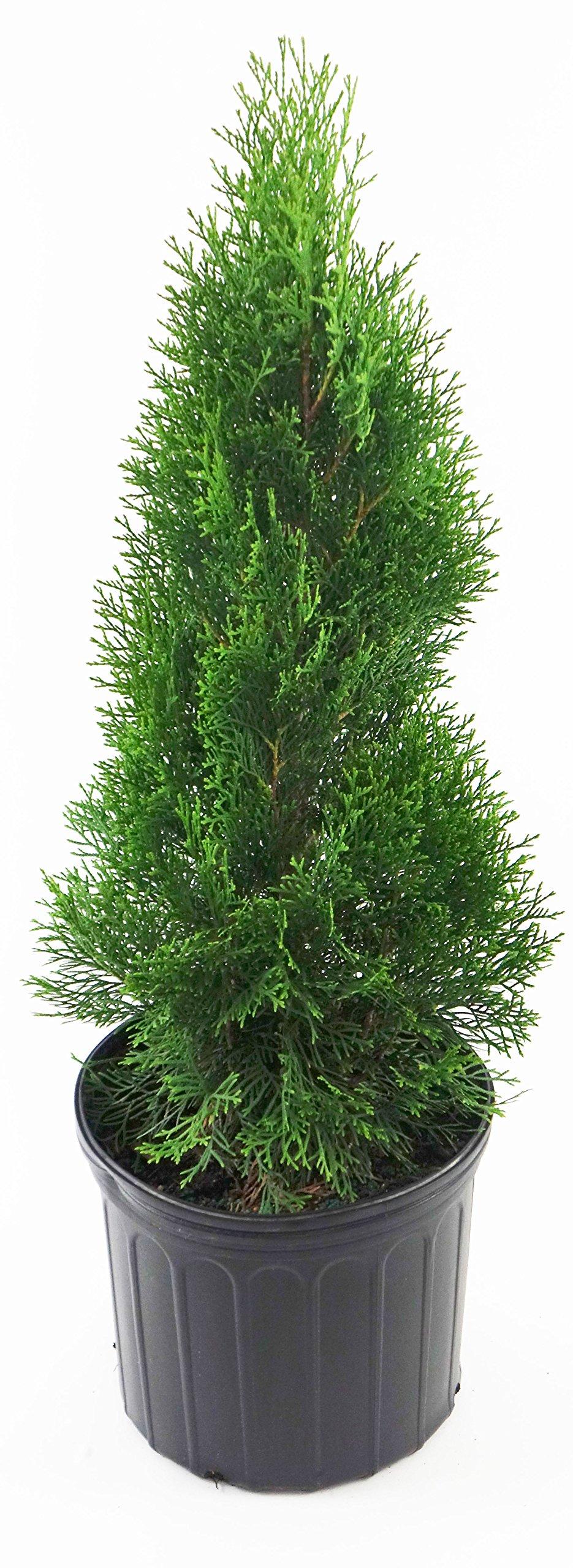 Thuja occidentalis 'Smargd' (Emerald Green Arborvitae) Evergreen, #3 - Size Container