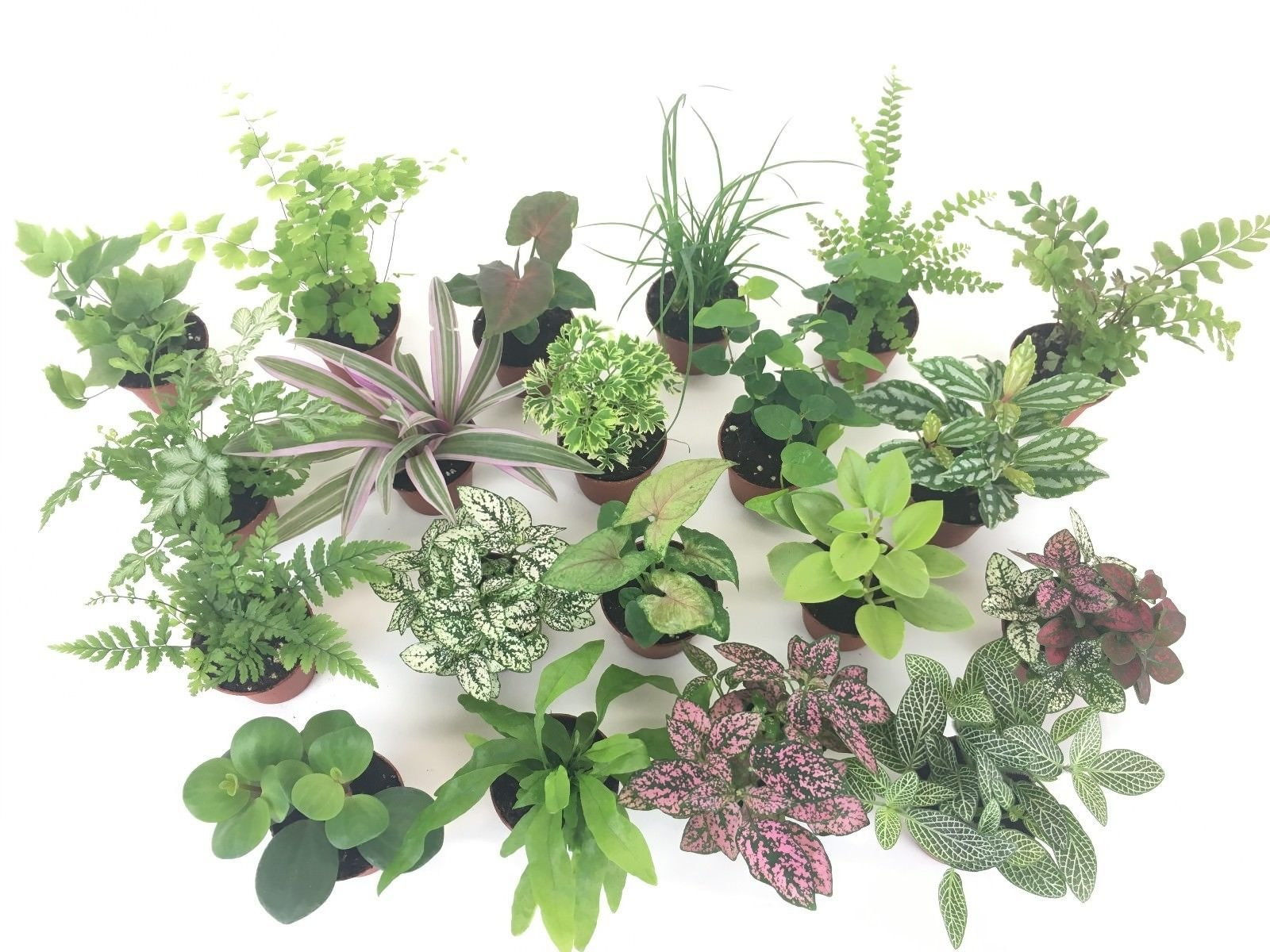 2'' Mini Fairy Garden & Terrarium Plants Assorted Varieties (Pack of 2 Plants) by Ma_Plant (Image #1)