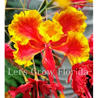 Dwarf Poinciana/Peacock Flower Tree, Caesalpinia pulcherrima : Garden & Outdoor