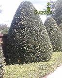 Sandys Nursery Online Ilex Nellie R Stevens' Holly Shrubbed & Shearded 4 inch pot