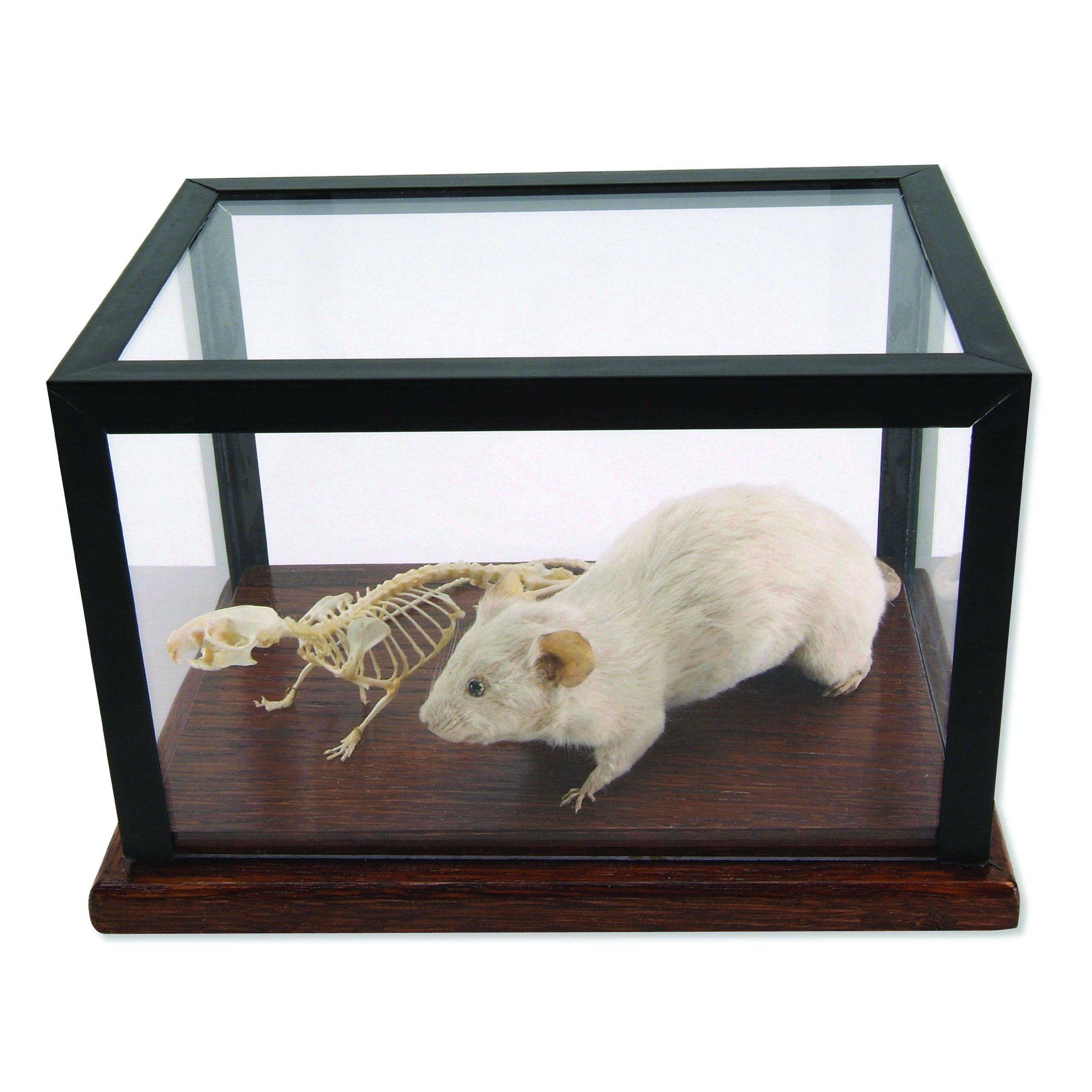 3B Scientific T31001 Mouse Skeleton and Stuffed Mouse Display
