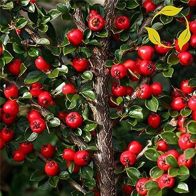 ROCKSPRAY COTONEASTER Cotoneaster Horizontalis - 20+ Seeds : Garden & Outdoor