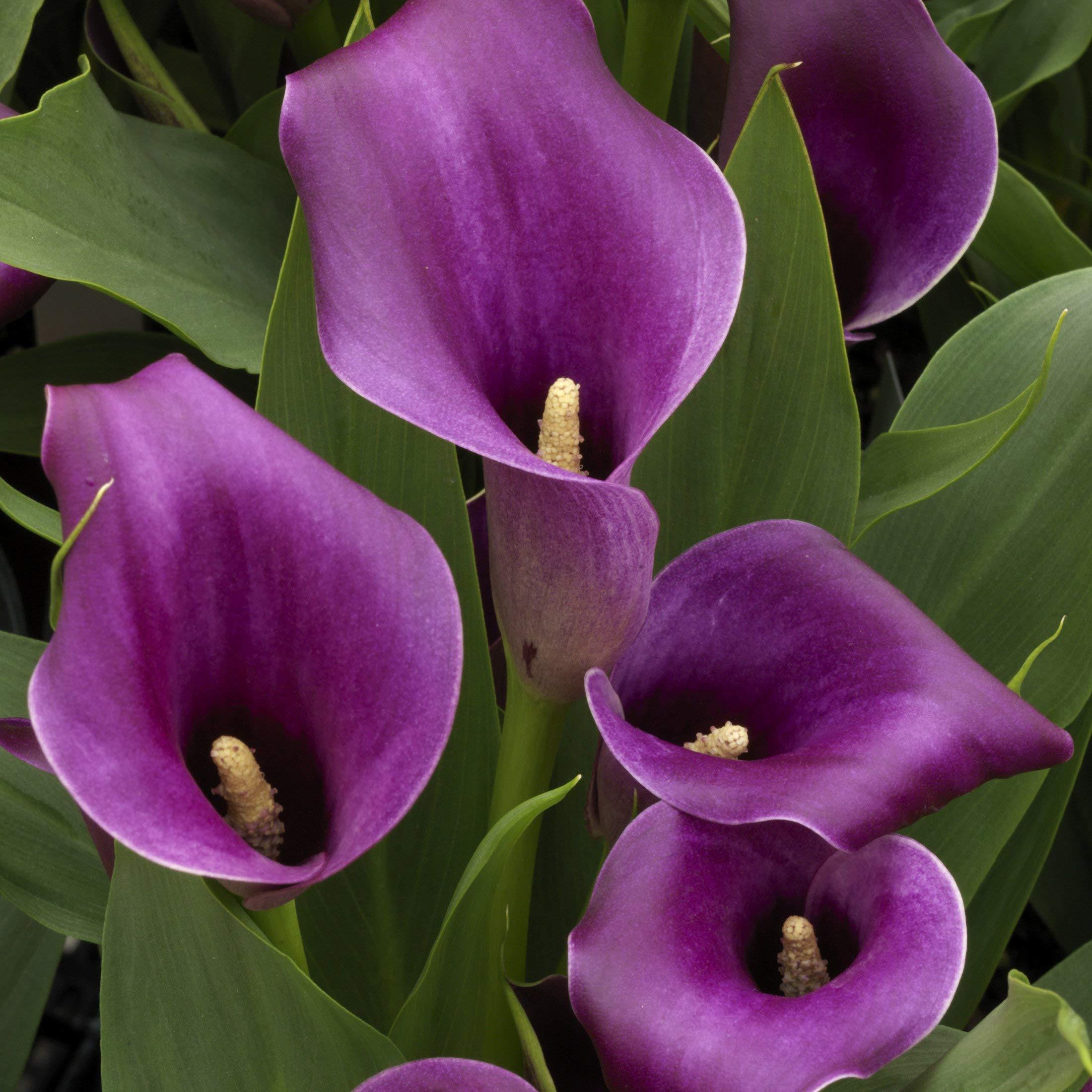 Purple Calla Lily Bulbs-10 Bulbs-Pretty Calla Lily Bulbs Zantedeschia Flowers Wedding Bouquet Decoration Bonsai Garden Planting by okdress