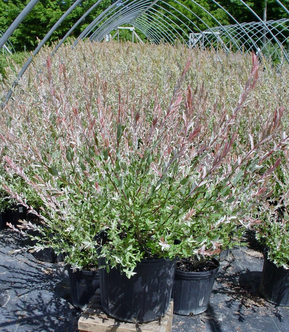 Green Promise Farms -  Salix `Hakaro Nishiki' (Dappled Willow)Shrub,  #3 -Size Container by Green Promise Farms (Image #3)