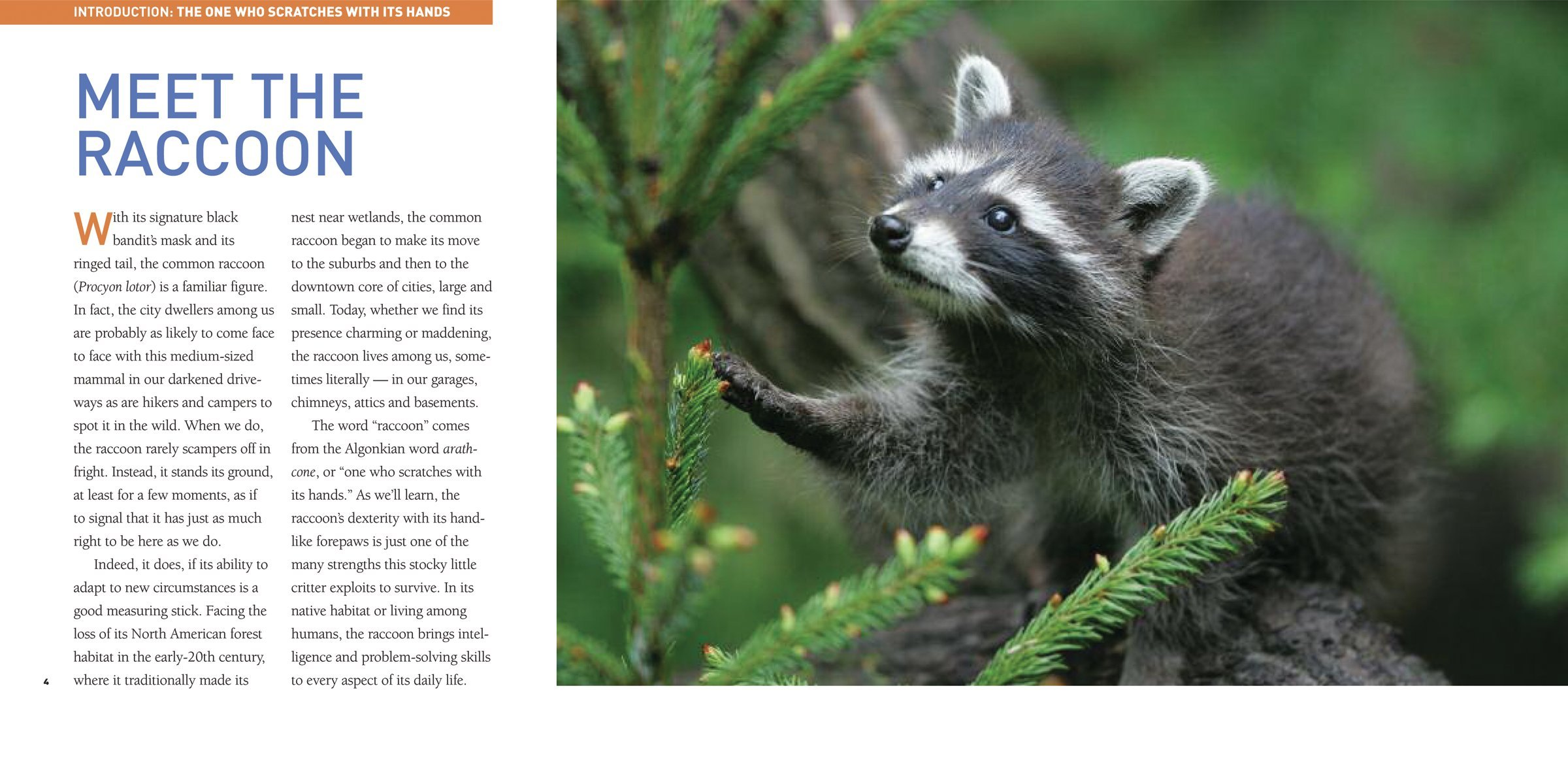 Exploring The World Of Raccoons Tracy Read 9781554076178 Amazon Books