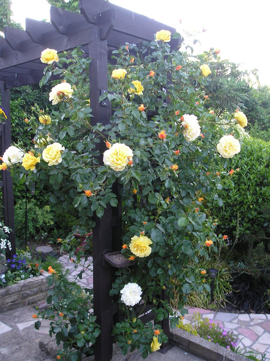 CHRIS - 5.5lt Potted Climbing Garden Rose - Yellow, Fragrant, Very Healthy, Repeat Flowering