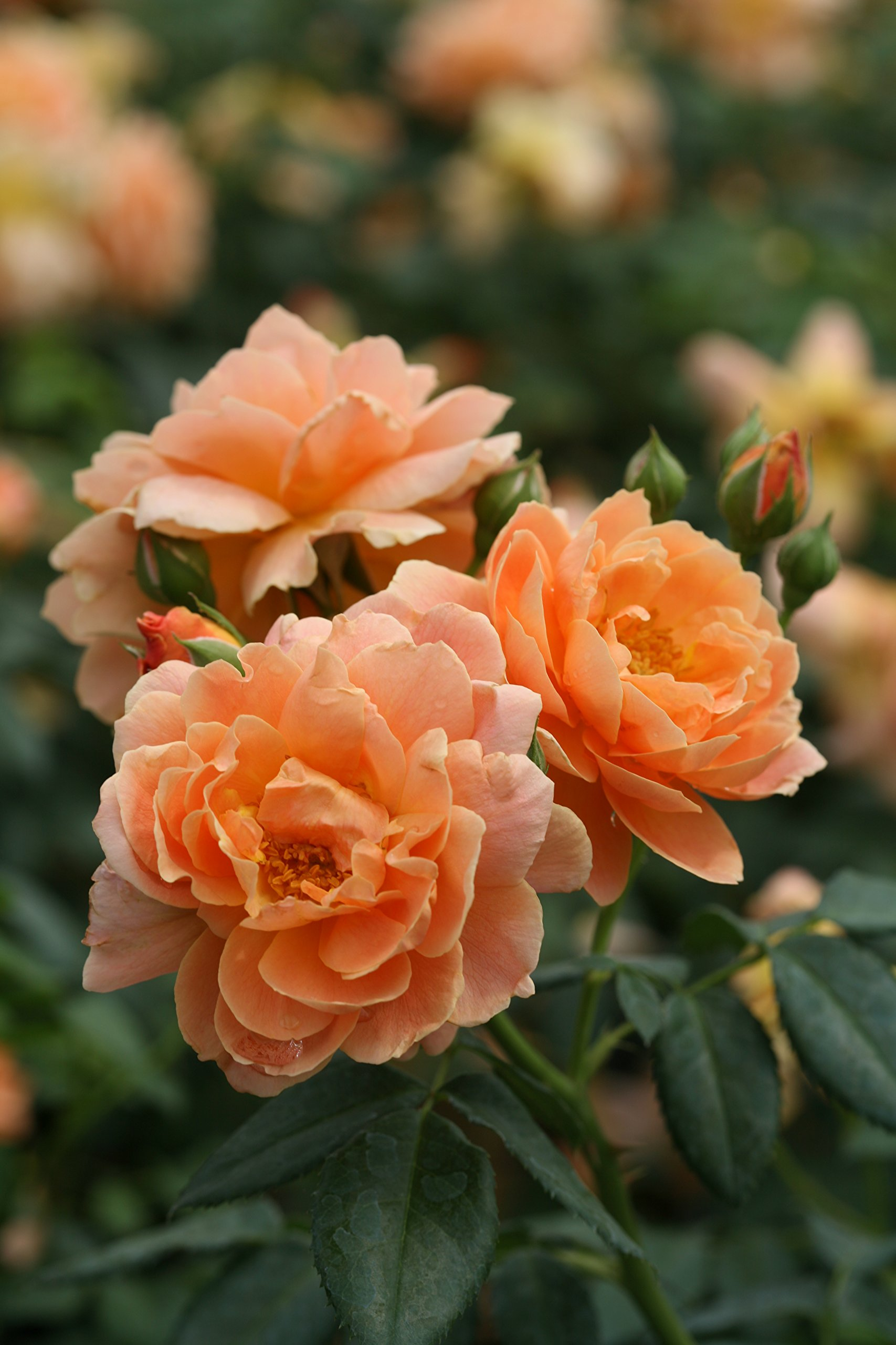 At Last Rose (Rosa) Live Shrub, Orange Flowers, 4.5 in. Quart by Proven Winners (Image #2)