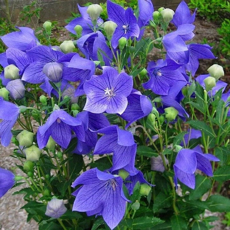 Plentree Semi Platycodon Grandiflorum semi del fiore 100 -Buy 4 articoli Generic