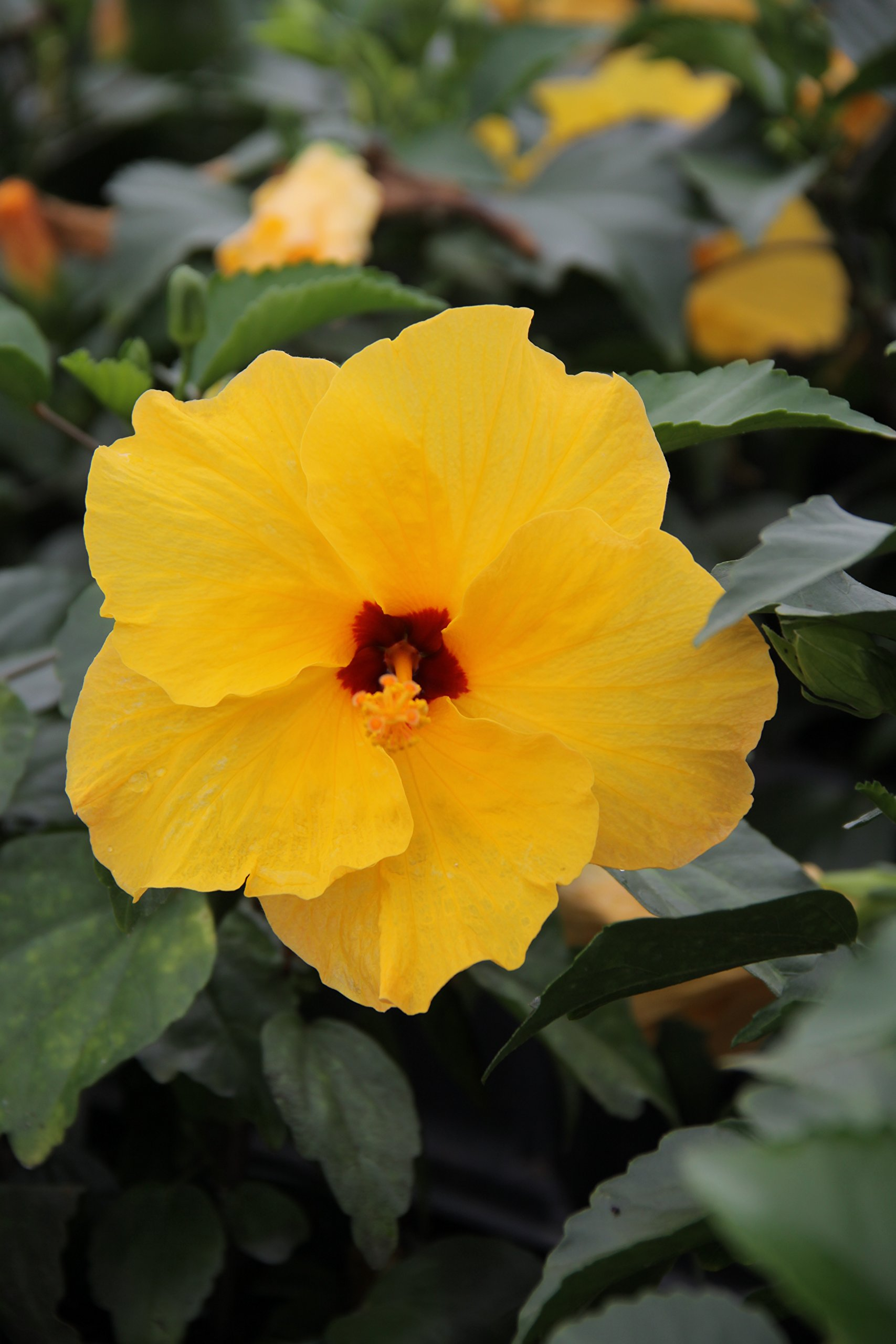 Costa Farms - Live Hibiscus Tropical Outdoor Plant in 3.00 qt Grower Pot, Yellow Flowers