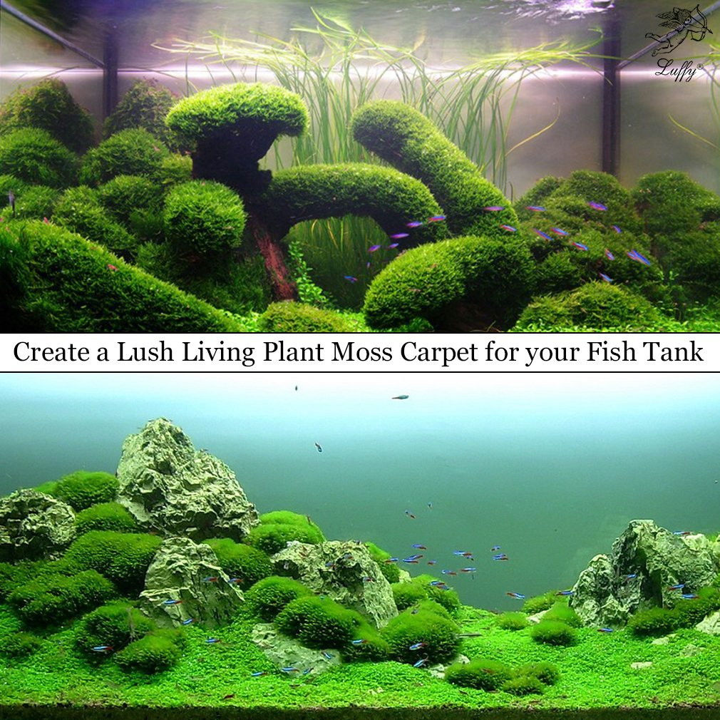 Carpet Moss Scientific Name - Carpet Vidalondon