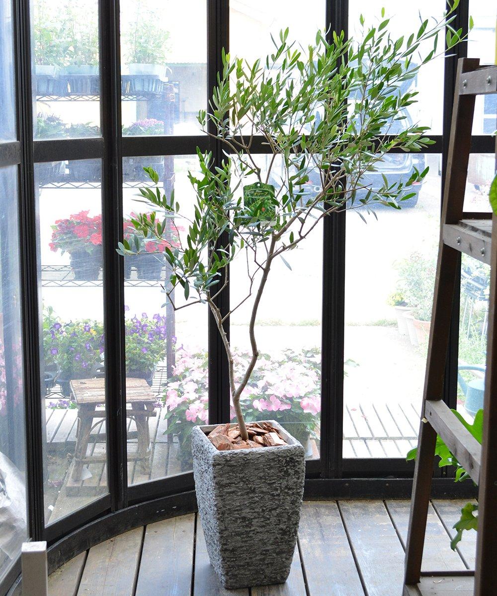 [エルフルール] オリーブの木 鉢植え グレーストーン鉢 B074F2HS9H