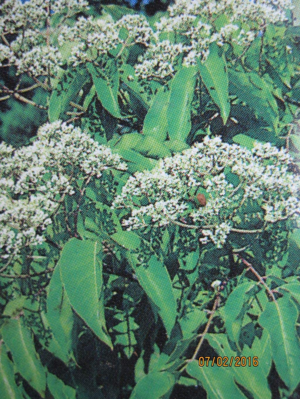 Bienenbaum 80-100cm Euodia hupehensis